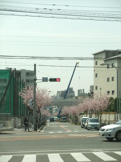 名古屋市白壁交差点付近の桜
