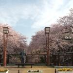 """""""五条川""""桜の見納め"""