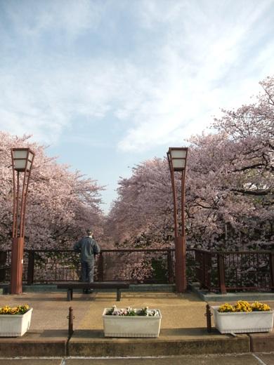 散り際の見納め桜