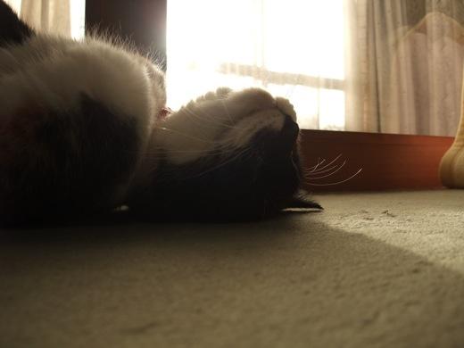 気持ちよさそうに寝転ぶ三毛猫「チョロ」