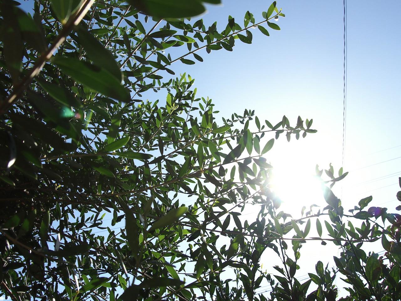 オリーブと太陽光